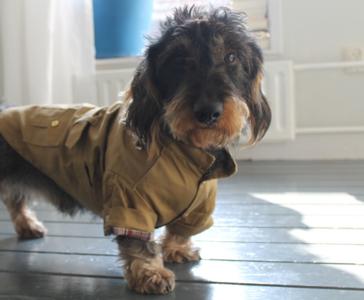 Trenchcoat hond